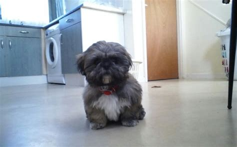brindle and white shih tzu brindle and white pedigree shih tzu hull east of pets4homes