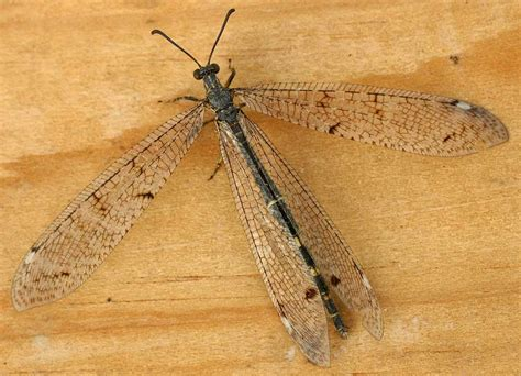 doodlebug insect wiki antlion