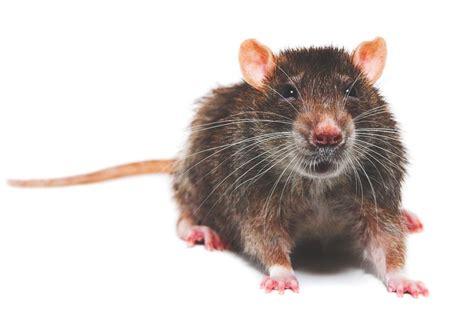 imagenes de ratas halloween 191 d 243 nde vive la rata
