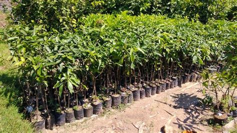 Harga Jagung Pakan Ternak Makassar jual bibit mangga harga murah surabaya oleh ud agro sari tani
