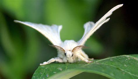 lifespan of a poodle moth i give you the venezuelan poodle moth