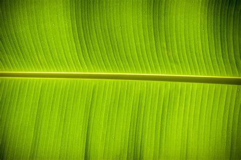 wallpaper daun daun pisang flickr photo sharing
