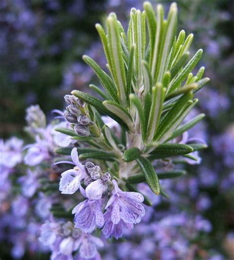 Bibit Bunga Rosemary bibit rosemary 7 biji non retail bibitbunga