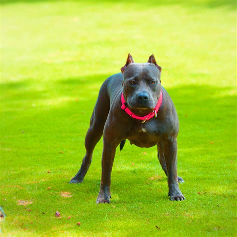 the gallery for gt grey pitbulls for sale