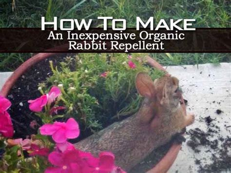 Rabbit Repellent For Gardens by How To Make An Inexpensive Organic Rabbit Repellent