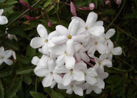 gelsomino in vaso cure gelsomino variet 224 e cure pollicegreen