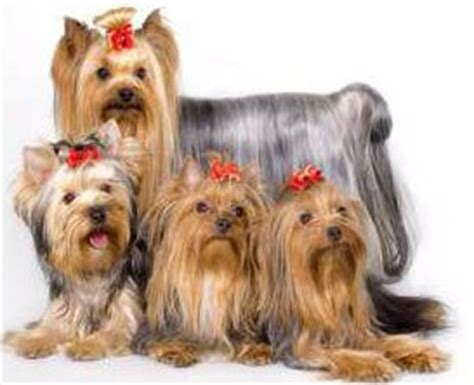 names for yorkies yorkie names for and terriers