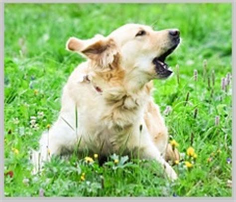 can golden retrievers be left alone how to stop golden retriever barking 10 easy tips tested in 2016