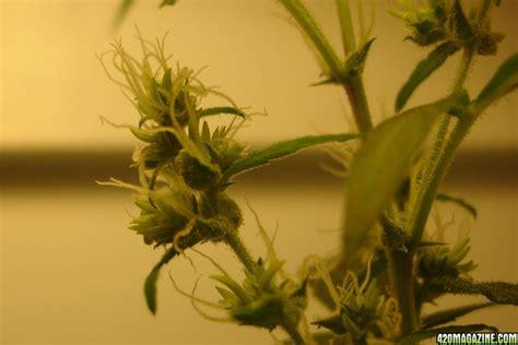 Ganga Planter by Ganja Farmer 1st Grow Og Kush Or Lemon Skunk