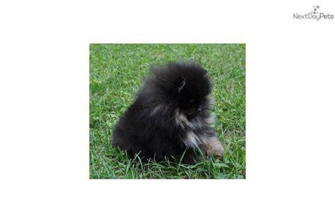 pocket pomeranian price pomeranian puppy for sale near altoona johnstown pennsylvania e7d5d1cf 1dd1