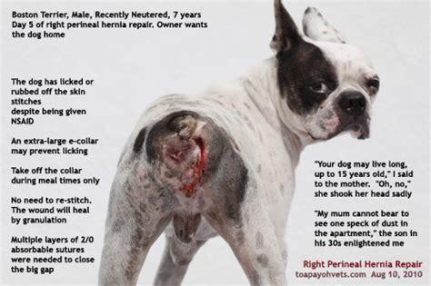 perineal hernia 20100619dental scaling health care problems in singapore dogs fistula oronasal dog