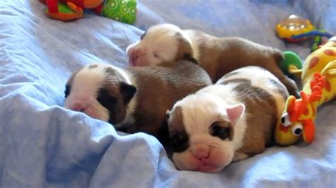 newborn baby puppies newborn baby bulldog puppies chion sired