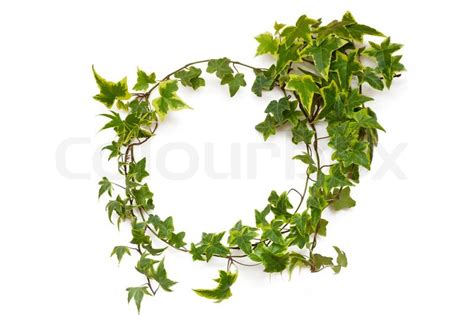 ivy plant natural circle frame on white background stock