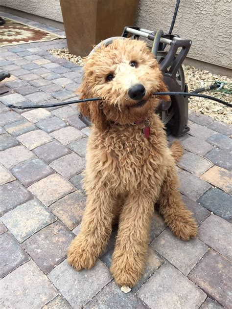 bayleigh a medium goldendoodle 26 pounds 5 months yelp