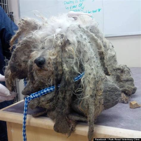 matted photos abandoned dog named shrek gets a fairytale ending photos
