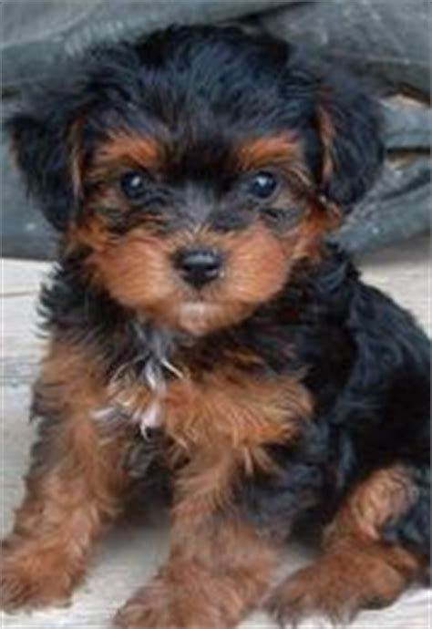 are yorkie poo dogs hypoallergenic 1000 ideas about hypoallergenic puppies on