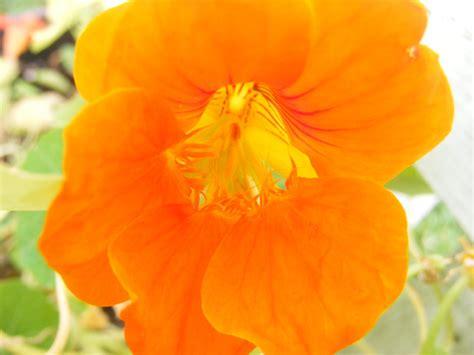 pretty orange another pretty orange flower by blueivyviolet on deviantart