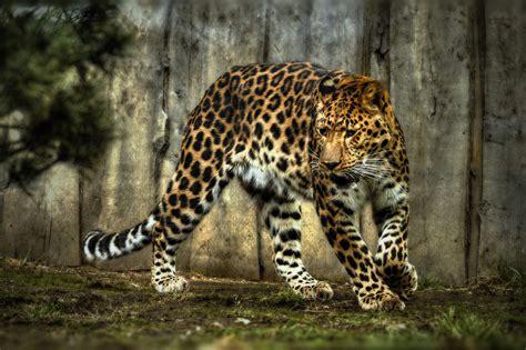 jaguar wallpaper for desktop jaguar computer wallpapers desktop backgrounds
