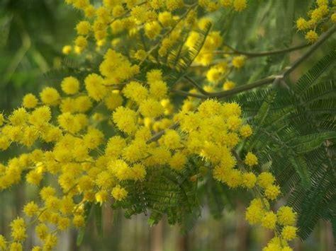 pianta mimosa in vaso coltivare la mimosa acacia dealbata piante da giardino
