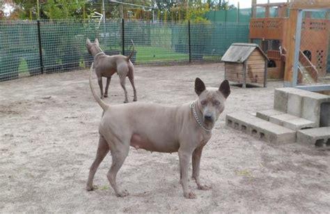thai ridgeback puppies for sale puppies for sale 187 thai ridgeback x dogs bluestone kennels