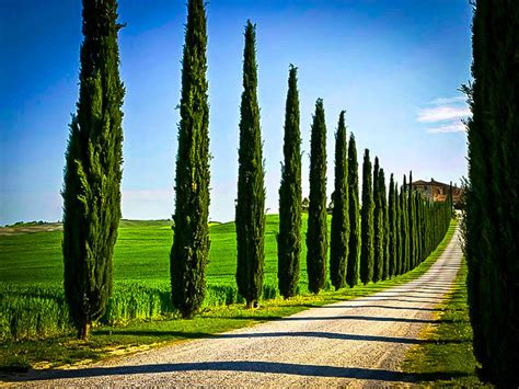 Gardenias by Italian Cypress For Sale Online The Tree Center