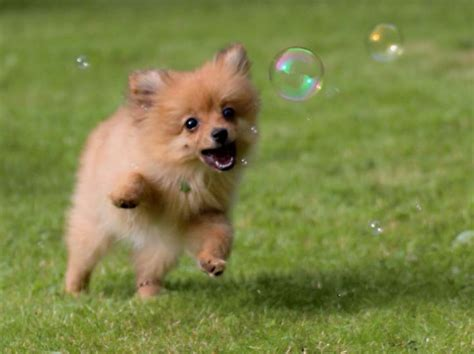 pomeranian and cats pomeranian chasing bubbles adorable dogs cats and snakes in hats