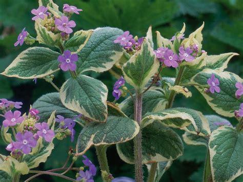 perennial foliage plants perennial plants for winter perennial flowers