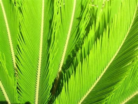 cycad leaves  stock photo public domain pictures