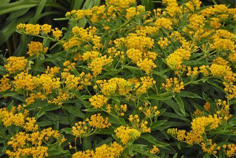 Hello Yellow asclepias tuberosa hello yellow