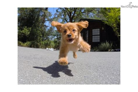 pugs for sale bay area cavalier king charles spaniel breeder puppies for sale our breeds picture