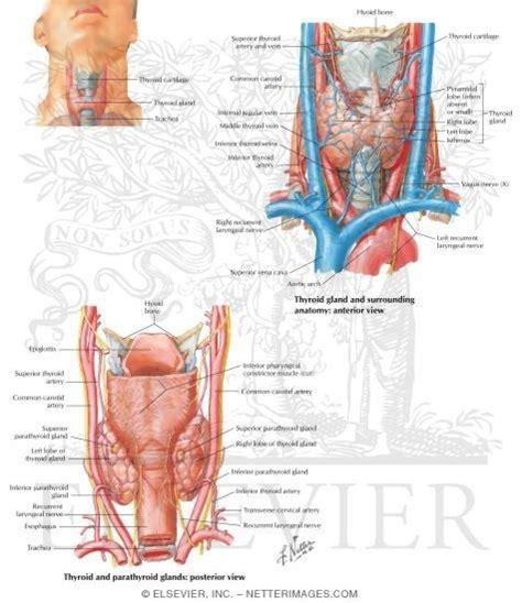 Thyroid Gland Anatomy Netter / dyrevelferd.info