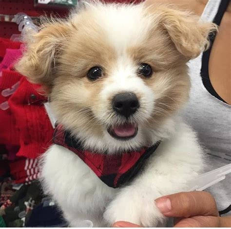 pomapoo haircuts 17 best images about doggies on pinterest siberian