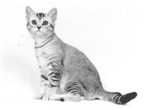 The Genetics of Shaded Silver American Shorthairs
