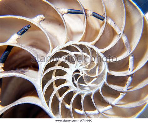 nautilus cross section cross section nautilus stock photos cross section