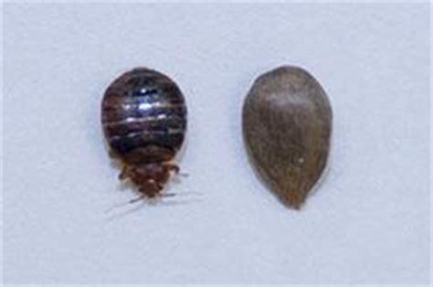 bed bug behavior bed bug behavior let s beat the bed bug