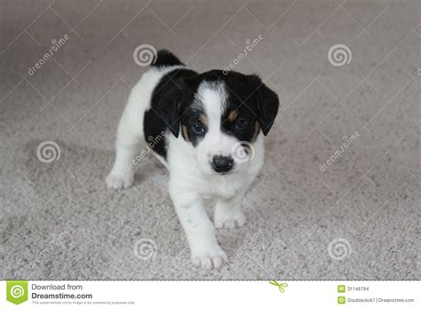 puppy on carpet puppy on carpet stock images image 31146794