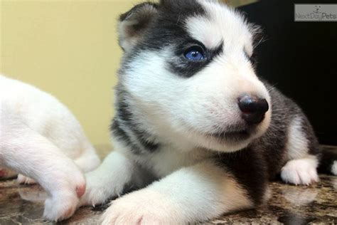 husky puppies virginia siberian huskys for sale in virginia breeds picture