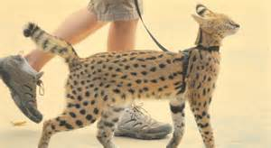serval good pets to have