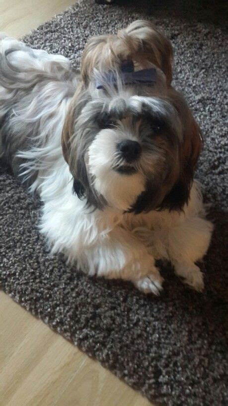 1000 images about barkley shih tzu hair cuts on pinterest 1000 images about shih tzu haircuts on pinterest shih
