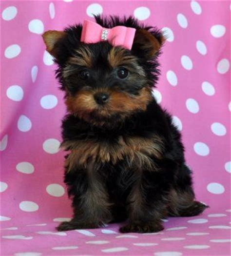teacup yorkie with bow teacup yorkie puppy cuteness