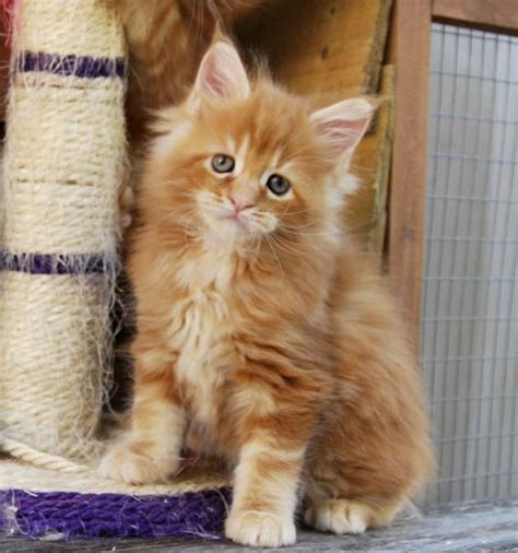 cats for sale maine coon kittens for sale chelmsford essex pets4homes