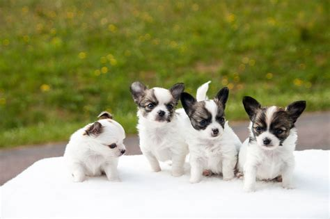 21 Chihuahua Pictures   Different Colors, Types and