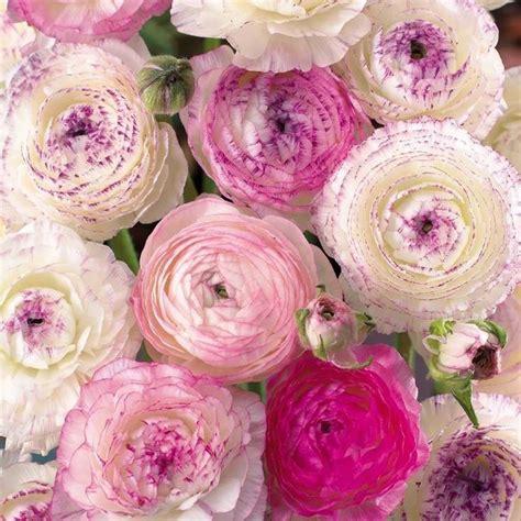fiori ranuncoli oltre 25 fantastiche idee su ranuncolo su
