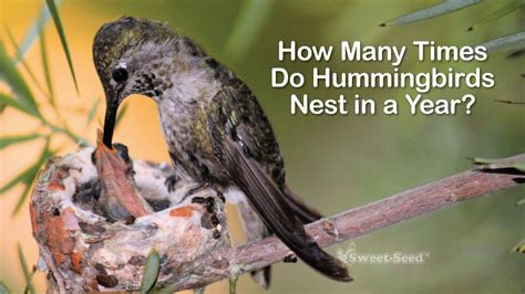 how many times do hummingbirds nest in a year
