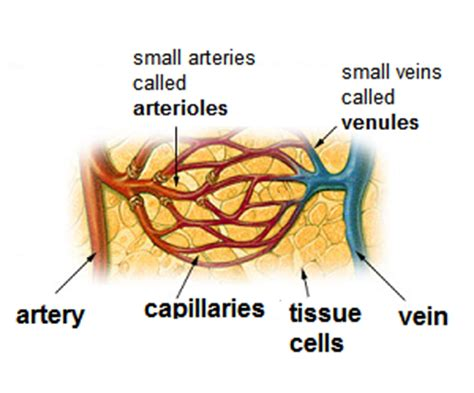 Capillaries Capillaries Are Part Of The Circulatory System They Are Quotes