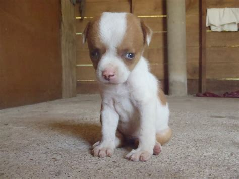 blue eyed puppy brown puppy with blue www imgkid the image kid has it