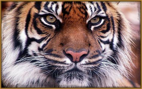 ver imagenes jpg incre 237 bles fotos de tigres para fondo de pantalla para tu