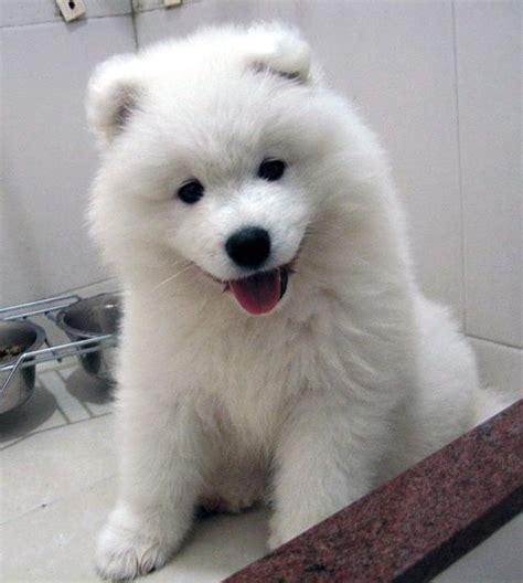 fluffy dogs big fluffy samoyed