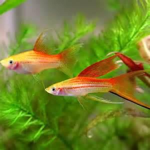 types of aquarium fish types of freshwater aquarium fish freshwater fish types swordtails 500 x 500 188 kb jpeg