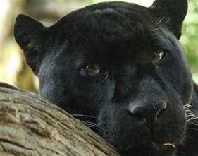what color is a panther panther panthera pardus panthera onca animals a z